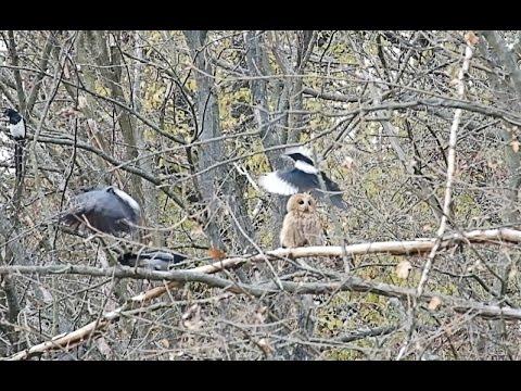 Вопрос: Могут ли вороны обидеть здоровую сову?