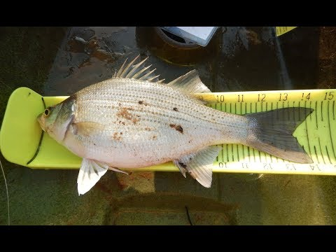 White Bass On The Eno River, NC