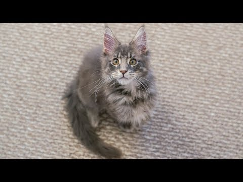 Maine Coon Kitten Meowing