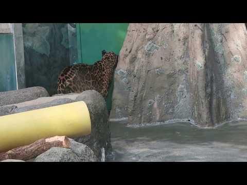 #34 Nov 2017 jaguar at Tennoji zoo, Osaka, Japan
