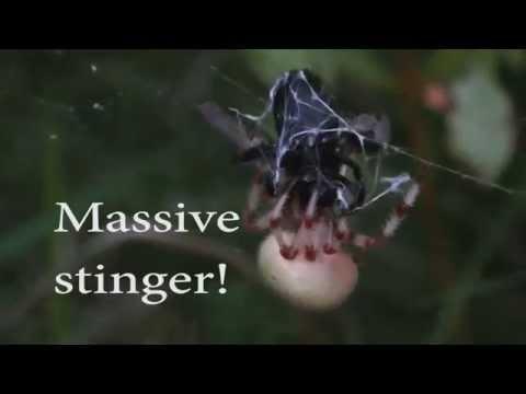 Araneus Trifolium Takes On Large Bumblebee