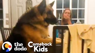 150Pound German Shepherd Loses 50 Pounds | The Dodo Comeback Kids