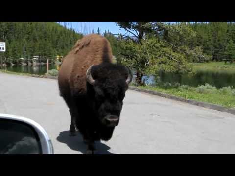Yellowstone National Park - Bison/Buffalo walking down the road