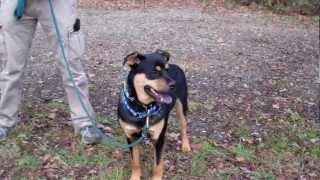 Zeus The Male Terrier/rottweiler Mix Has Been Adopted!