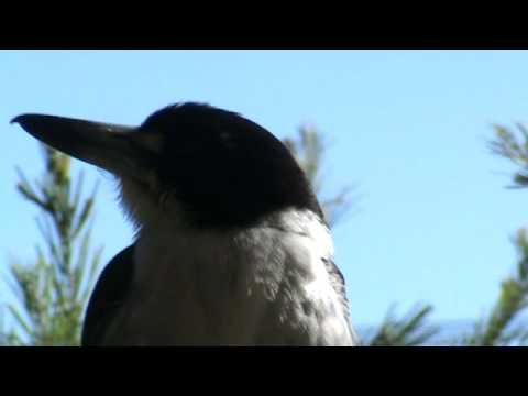 GREY BUTCHER BIRD SONG.mpg
