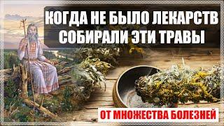 Полезные свойства, от множества болезней. Как собирать, ферментировать Иван чай.