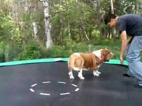 Trampolining Basset Hound