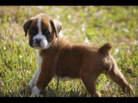Adorable Boxer Puppy Growing Up On Camera Youtube