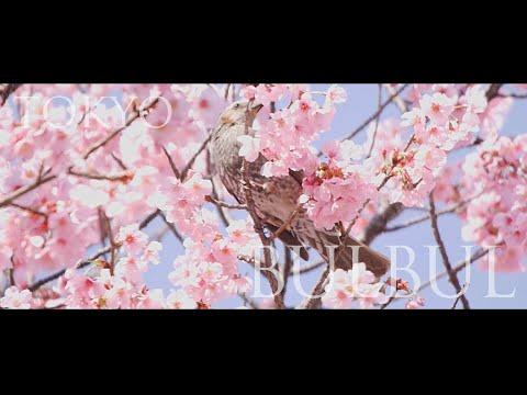 ひよどり日和、桜の蜜はおいしい?(東京都練馬区・石神井公園)【BGMのみの風景動画】 Brown-eared bulbul. Shakujii-Koen, TOKYO.(処理前バージョン)