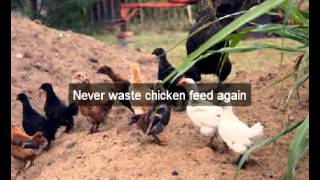 Chicken Feeders | Humboldt | Ca | Automatic Chicken Feeder | Feeding Chickens | Poultry Feeders|hens