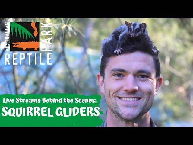 SQUIRREL GLIDERS (LIVE FOOTAGE) | AUSTRALIAN REPTILE PARK