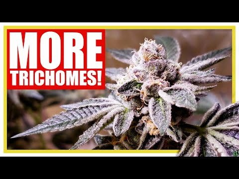 INCREASE TRICHOME PRODUCTION With These Grow Tips