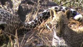 Little Leopard cub playing with mom