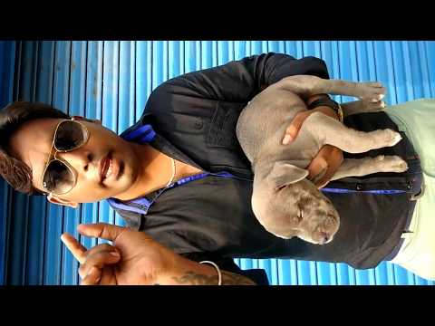 Pet Care - The American Bully  puppies for  sale 12000 only hurry up - DOGGYZ WORLD