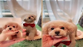 Cute Toy Poodle Does Tricks And Strikes Poses As Shown In Photo