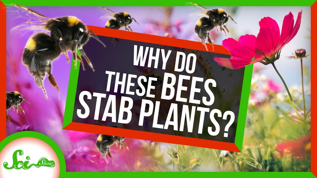 Download Why Are These Bees STABBING Plants?