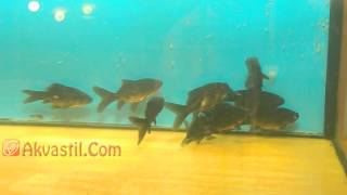 Золотая рыбка - Комета черная. Аквариумные рыбки. Аквариумистика.