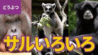 サルのなかま【動物・生き物 #10】 □登場するサル:ニホンザル/アビシ...