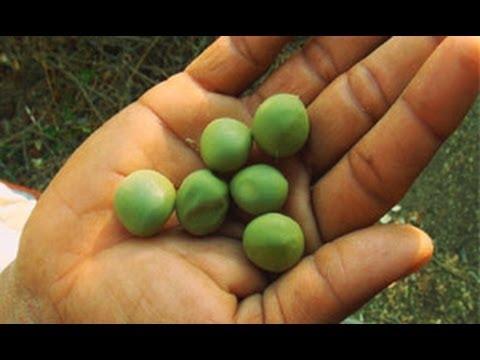 Sagar Kota Fruit near Lonar Crater Lake in Buldana