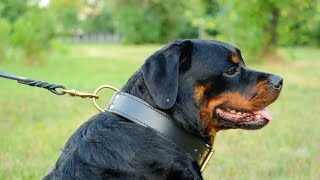 Rottweiler In Amazing Leather Dog Collar Perfect For Walking And Training