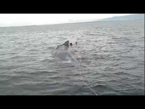 Dead Sperm Whale found in Zamboanga