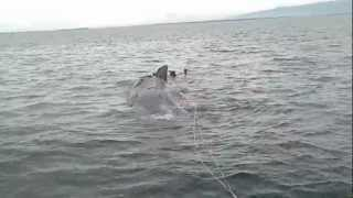 Dead Sperm Whale found in Zamboanga