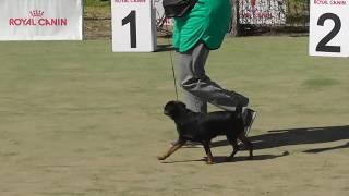 пти брабансон, маленькая собака со злой приплюснутой мордой