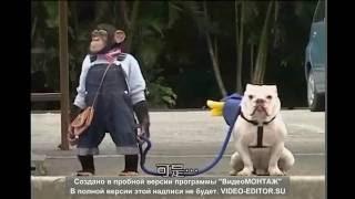 Обезьяна выгуливает собаку . Monkey walking a dog.