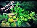 Como Sembrar una Planta de Lima - Cultivo de la Lima