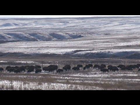 """""""Fort Peck Bison Restoration"""" (2014)"""