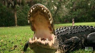 A Gator Too Comfortable Around People | Gator Boys