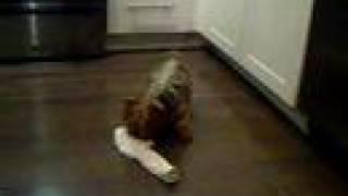 Truffle Killing A Sock - Yorkies Gone Wild