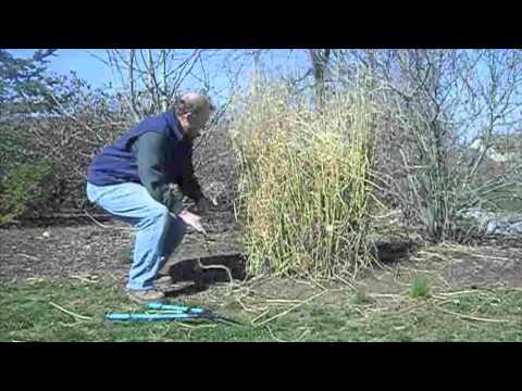 Care Of Ornamental Grasses M4v Youtube