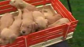 This Video Is Unavailable.     Golden Retriever Puppies For Sale In Pa