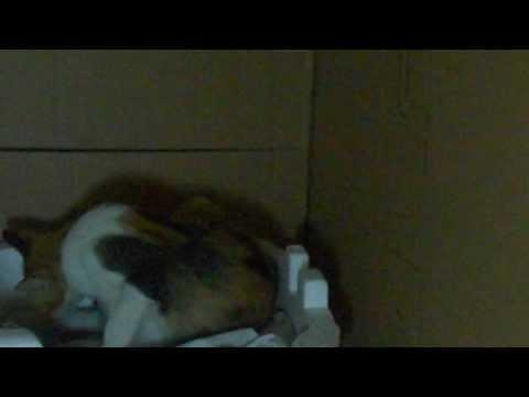 Mèo bị-được sinh-đẻ-lọt ra... như thế nào