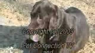 Labrador Retriever Rescue, Inc