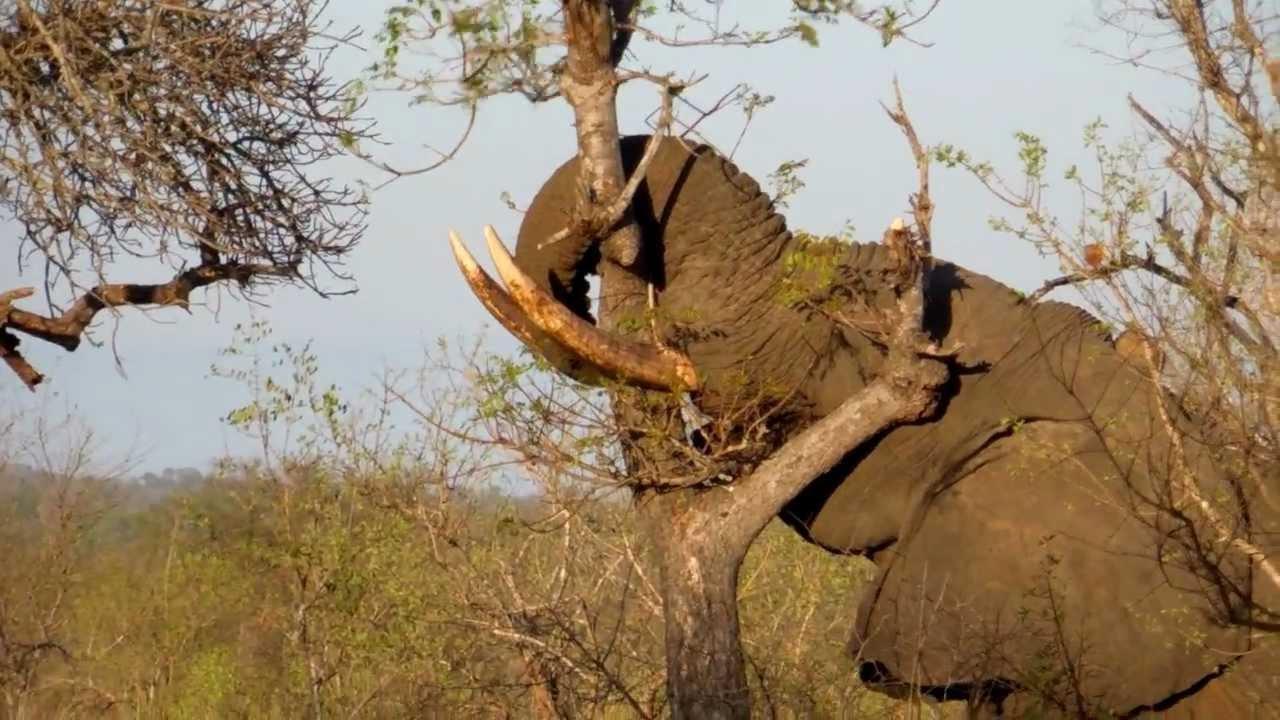 Elephant breaking tree Manyeleti GR / Tintswalo Safari Lodge