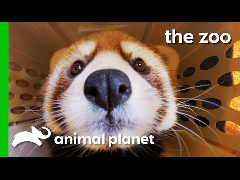 Red Panda Gets Special Treatment For Infected Foot Injuries | The Zoo