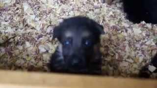 German Shepherd Puppies In Texas - Von Der Otto German Shepherds