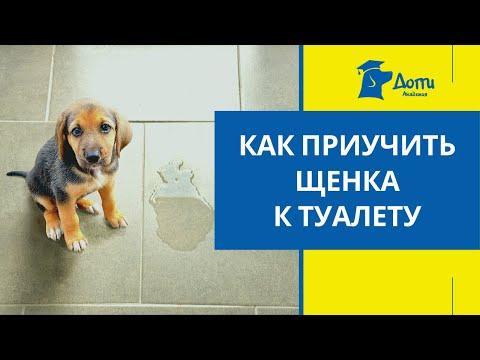 Вопрос: Как одновременно использовать пеленки и приучать щенка ходить в туалет на улице?