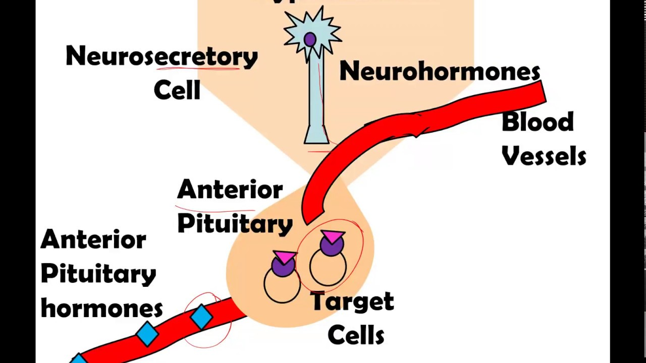 Anterior And Posterior Pituitary Glands Youtube