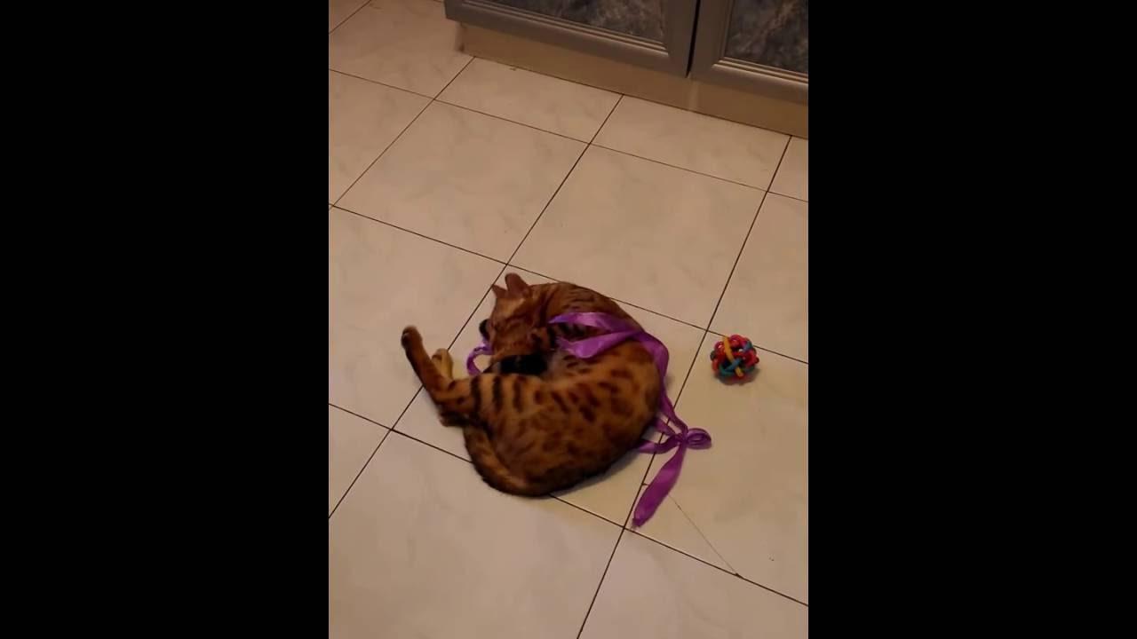 Купить бенгальского котенка. Продажа бенгальских котят. Объявления: