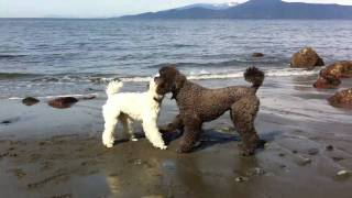 2 Standard Poodles Playing On The Beach