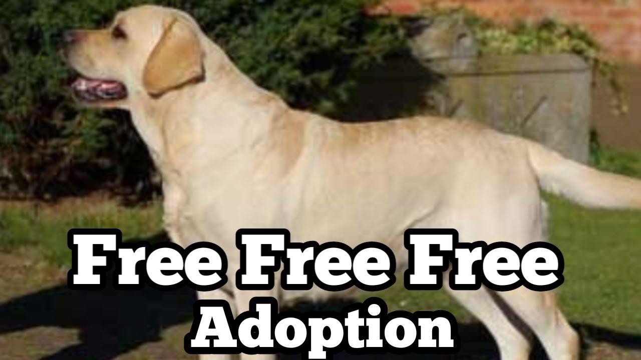 Free Free Adoption Labrador retriever for free adoption| Labrador for Free Adoption in India
