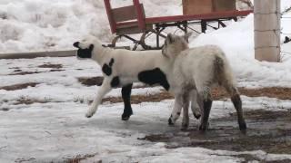 jeunes agneaux s'amusant