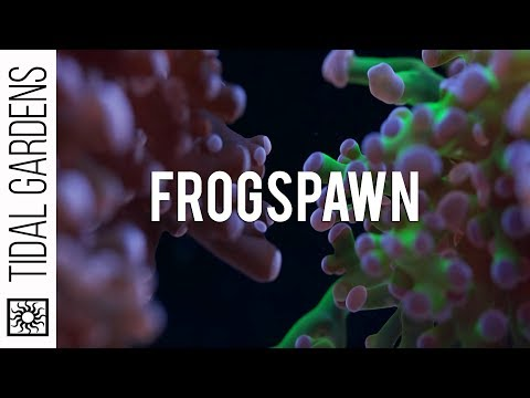 Frogspawn Care Tips
