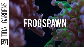 Frogspawn Coral Care Tips