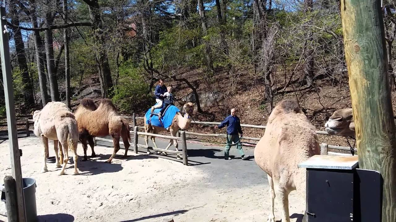 Noada On The Camel Ride At The Bronx Zoo Youtube