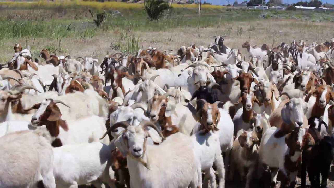 RentAGoat Goat Wrangling, Best in the World - YouTube