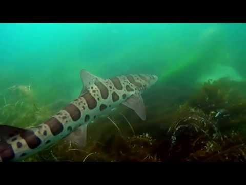 Snorkeling with Leopard Sharks in La Jolla, CA
